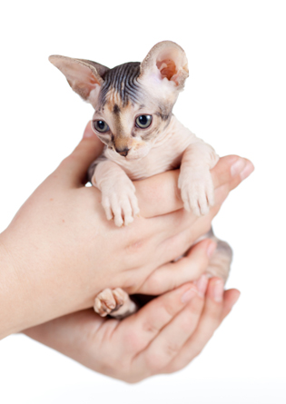 sphynx kitten sitting in human hands