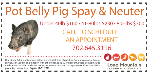 Pot Bely Pig Spay and Neuter special Lone Mountain animal hospital
